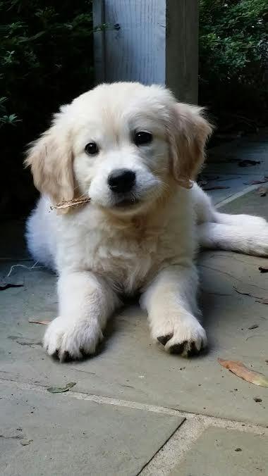 a photo of a golden retriever puppy
